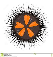 black sea urchin vector illustration stock vector image 77159870