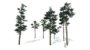 scots pine trees package asset store