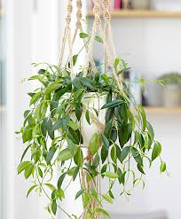 Buy House Plants Buy House Plants Now Codonanthe Crassifolia Bakker Com