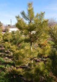 pine trees for sale utah buy trees utah tree moving utah