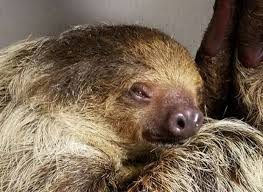 4 toed sloth i got to meet and feed 2 adorable sloths and here s how you can