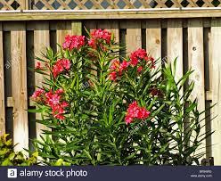 oleander flower stock photos u0026 oleander flower stock images alamy