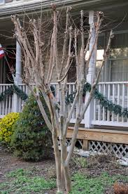 How To Put Christmas Lights On Tree by Decorating Your Decapitated Crape Myrtle This Holiday Season An
