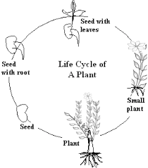 life cycle of a plant lower elementary science kwiznet math