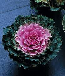 song bird pink flowering kale seeds and plants flowers at burpee