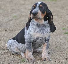 bluetick coonhound gifts bluetick coonhound with cherry eye coonhounds u0026 other hounds