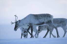 the great reindeer migration christophe boisvieux