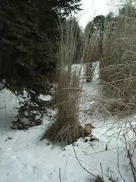 calamagrostis karl foerster grass ornamental feather reed karl