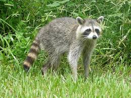 How To Get Rid Of Raccoons In Backyard Breaking Two Rabid Raccoons Found In Arlington This Week Arlnow Com