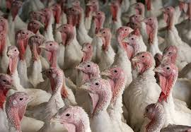 turkey farm prepares for thanksgiving photos and images getty images