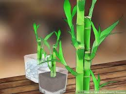How To Take Care Of Flowers In A Vase How To Take Care Of Lucky Bamboo 12 Steps With Pictures