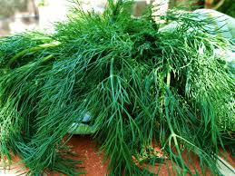herb persian mama all about herbs u2013 persian mama