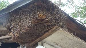 honey bees in the soffit of a house in river ridge la youtube