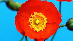 download wallpaper 3840x2160 poppy red yellow flower pollen 4k