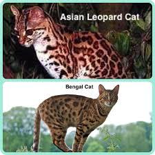 bengal cat facts bengal cat world