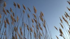 ornamental grass sways in the wind against a blue winter sky