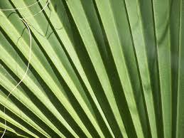 where to buy palms for palm sunday photo palms on sunday artfoodhome