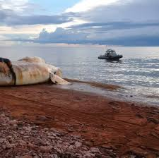 catastrophic die off of right whales in new england canadian