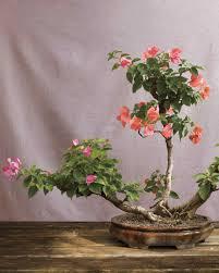 bonsai trees martha stewart