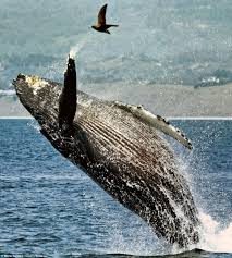 jumping for joy the incredible moment humpback whale leaps from