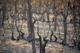 Definition For Wildfire by California Wildfires Disastrous European Harvest Means Wine