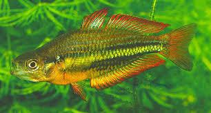 au u0027s burdekin rainbowfish verge demise
