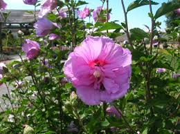 how to grow rose of sharon growing rose of sharon