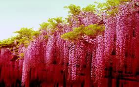 flower flowers wisteria pink japan blossoms desktop flower hd