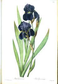 Iris by Http Vintageprintable Com Wordpress Vintage Printable Color