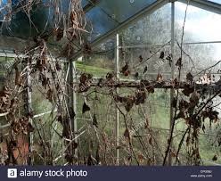 greenhouse with dead plants in winter garden carmarthenshire wales