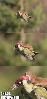 Weasel Meme - is this viral photo of a baby weasel riding a woodpecker cute or