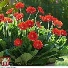 gerbera plant gerbera sweet collection hardy thompson