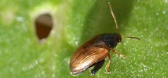flea beetle pest identification for vegetable gardens