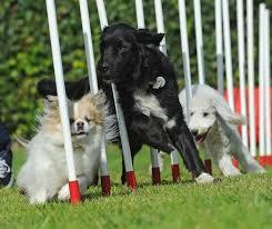 afghan hound agility 22 best agility dogs health images on pinterest dog agility dog