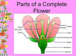 Style Flower Part - reproductive parts of plants j dael