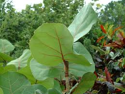 wholesale native plants sea grape florida native plants index of plants