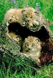Utah wild animals images 1197 best animals images big cats birds and wild jpg