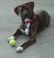 american pitbull terrier 9 months old why is the pitbull lab mix aka labrabull such a great dog