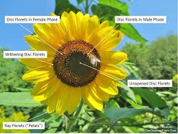 seed collection of australian native plants guide to growing sunflowers