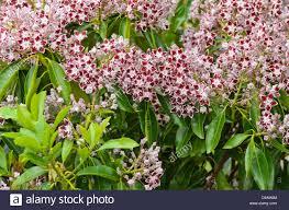 kalmia latifolia mountain laurel kalmia latifolia u0027comet u0027 stock photo royalty