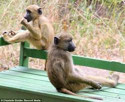 Monkey Bench I U0027m Tired Of All This Monkey Business Baboon Takes Some Time Out