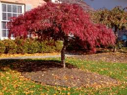 to prune a japanese maple tree