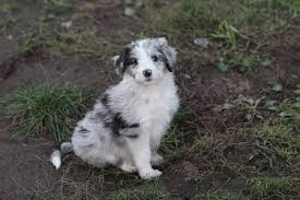 commercials with australian shepherds dreamydoodles northwest labradoodle and aussiedoodle puppies in