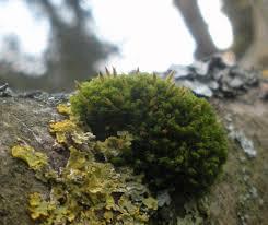 Pin Cushion Tree Crisped Pincushion Naturespot