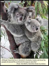 images diagrams australian koala foundation
