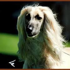 afghan hound puppies youtube firesoulthe youtube