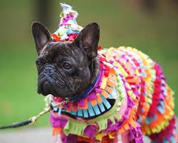English Bulldog Halloween Costumes 191 Frenchie Costumes Images French Bulldog