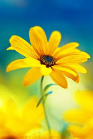 yellow flowers picture of a yellow flower best 25 yellow daisies ideas on