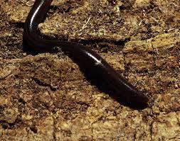 Plains Blind Snake Blind Snakes