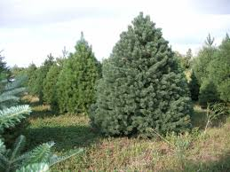 copenhaver plantations choose and cut christmas trees in